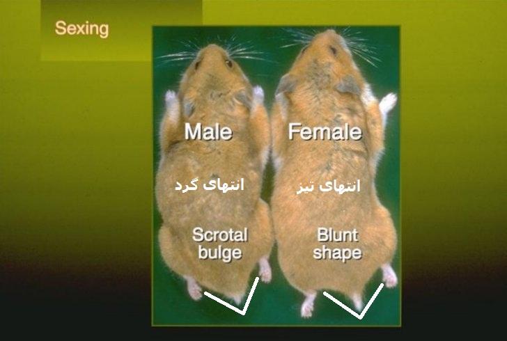 تعیین جنسیت همستر همستر