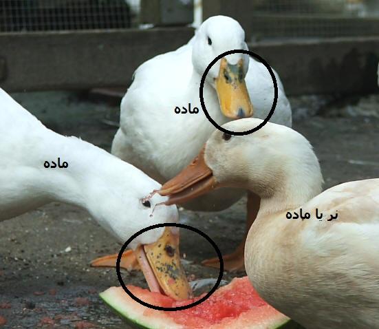 با زیبا و گرانترین پرنده های دنیا آشنا شوید عکس