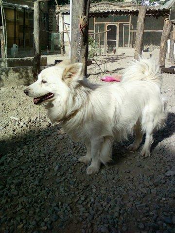 سگ فیندو