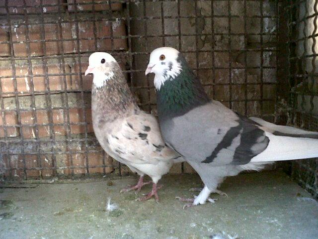 کبوتر سبز معرفی نژاد کبوتر اصیل ایرانی همراه با عکس - صفحه 6