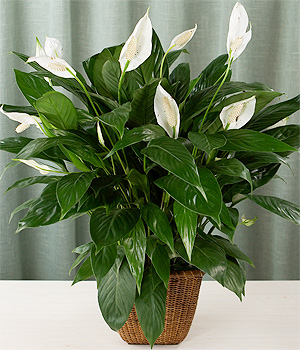 [تصویر:  Spathiphyllum-20wallisii-202.jpg]