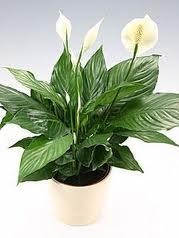 [تصویر:  Spathiphyllum-20wallisii-206.jpg]