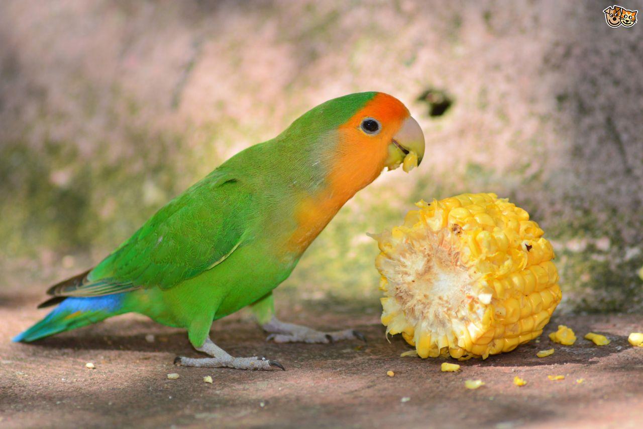 [عکس: peach-faced-lovebird-5400613e1470a.jpg]